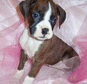 Cute and Lovely Boxer puppies for sale.