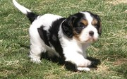 Cavalier King Charles Spaniel Puppies For Sale .