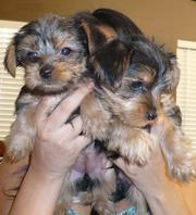 Two gorgeous Yorkie puppies available for adoption,