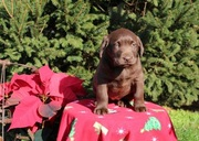 beautiful Chocolate Labrador Puppy